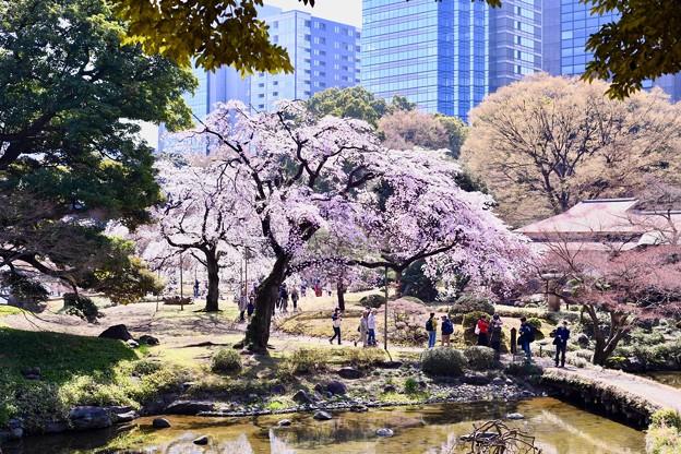 都会の中で観れる桜。。小石川後楽園 20180325