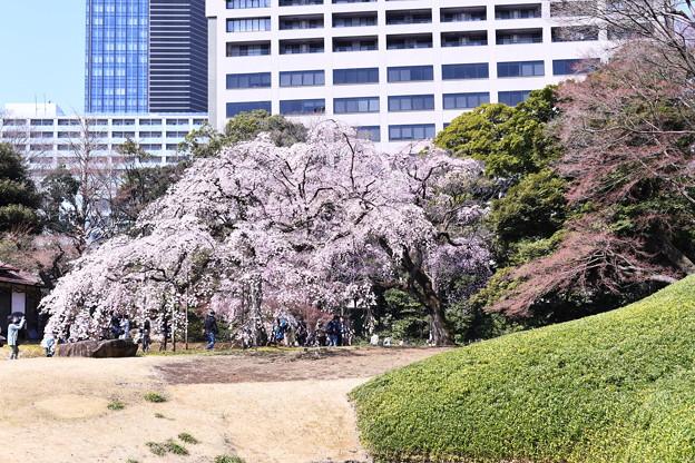 ビル群見える中に枝垂れ桜。。小石川後楽園 20180325