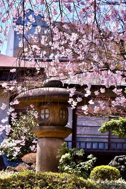 東京ドームからすぐの庭園 小石川後楽園の桜 20180325