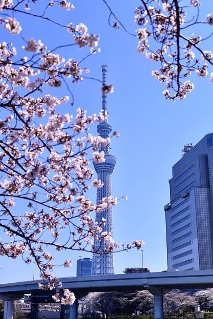 写真: 隅田公園の桜と東京スカイツリー(1) 20180325
