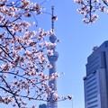 Photos: 隅田公園の桜と東京スカイツリー(1) 20180325