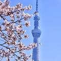 写真: 隅田公園の桜と東京スカイツリー(2) 20180325