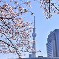 隅田公園の桜と東京スカイツリー(3) 20180325