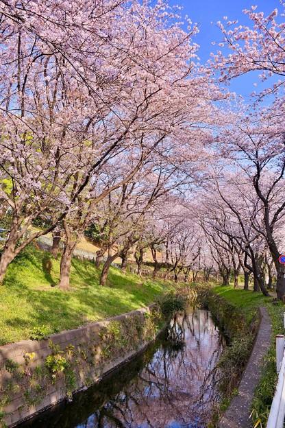 Photos: 神奈川県大和市の引地川千本桜の桜(1)。。201803031