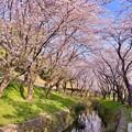 写真: 神奈川県大和市の引地川千本桜の桜(1)。。201803031