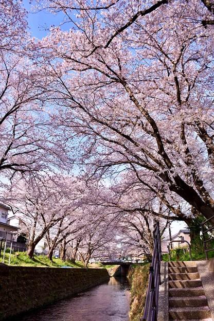 神奈川県大和市の引地川千本桜の桜(2)。。201803031
