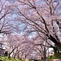 写真: 神奈川県大和市の引地川千本桜の桜(2)。。201803031