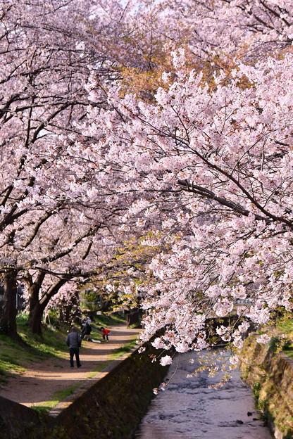 神奈川県大和市の引地川千本桜の桜(3)。。201803031