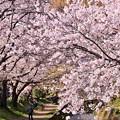 写真: 神奈川県大和市の引地川千本桜の桜(3)。。201803031