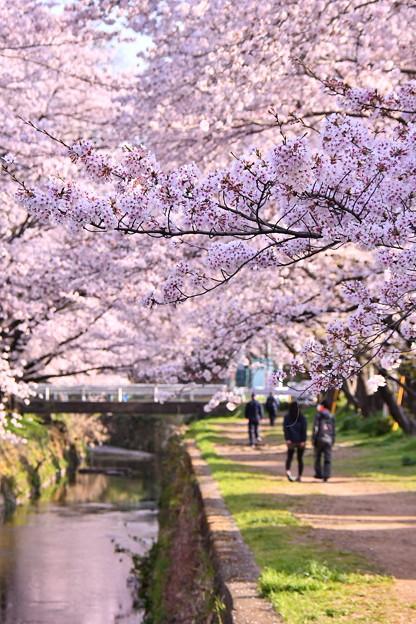 神奈川県大和市の引地川千本桜の桜(4)。。201803031