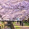 写真: 神奈川県大和市の引地川千本桜の桜(4)。。201803031