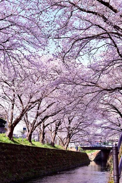 神奈川県大和市の引地川千本桜の桜(5)。。201803031
