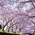 写真: 神奈川県大和市の引地川千本桜の桜(5)。。201803031