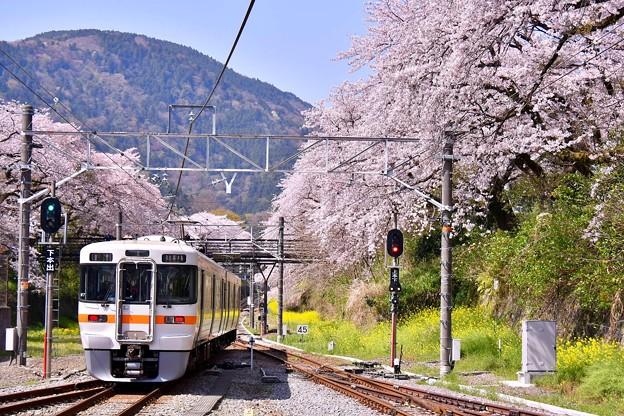 御殿場線山北駅ホームから満開桜。。20180331