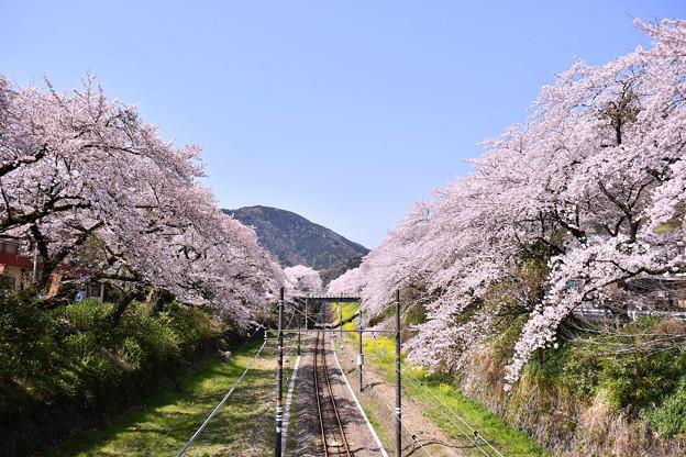 御殿場線山北駅の歩道橋から見える満開桜 20180331