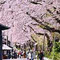 山北町の桜並木もまるでトンネルの中 20180331