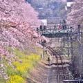 風が吹けば散っていく桜吹雪。。山北町御殿場線 20180331