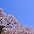 写真: 青空にも桜舞う。。山北町 20180331