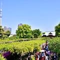 写真: 亀戸天神からも見える東京スカイツリー 20180422