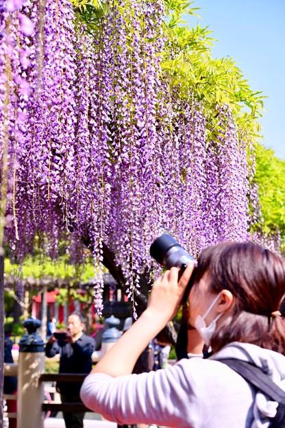 亀戸天神の藤棚を撮るカメラ女子。。(2) 20180422