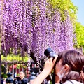 写真: 亀戸天神の藤棚を撮るカメラ女子。。(2) 20180422