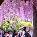 写真: 藤の花。。20180422