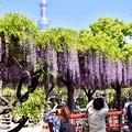 写真: 亀戸天神の藤の花撮影でスカイツリーも。。20180422