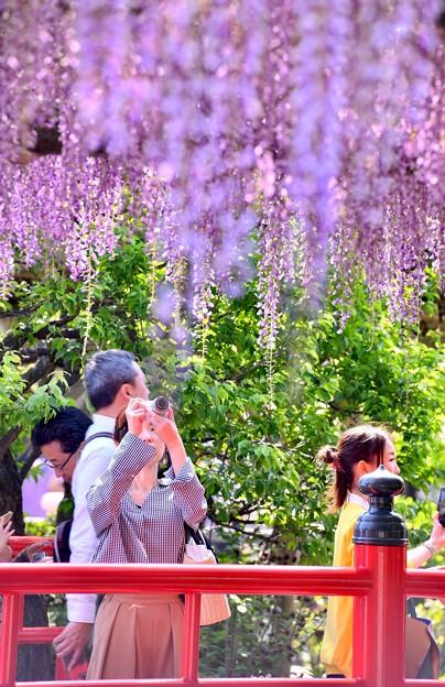 亀戸天神の藤の花。。あまりに綺麗で立ち止まって撮る風景 20180422