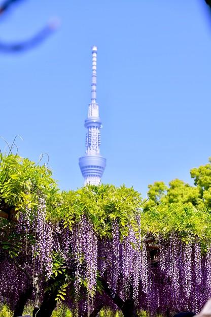 東京スカイツリーも顔だして藤の花と。。亀戸天神 20180422