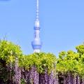写真: 東京スカイツリーも顔だして藤の花と。。亀戸天神 20180422