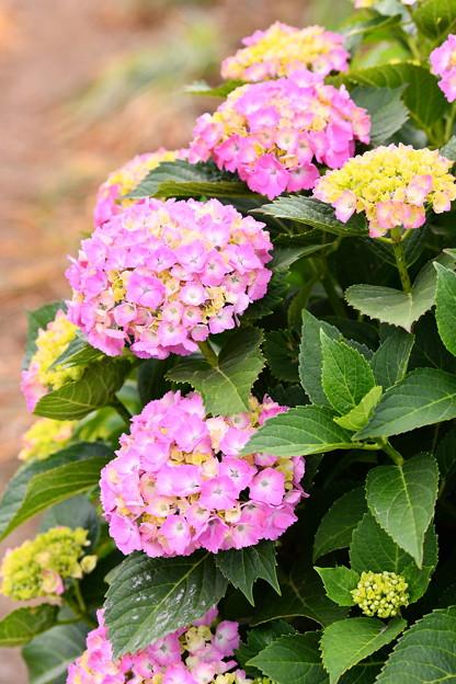開成町の紫陽花。。咲き途中 20180526