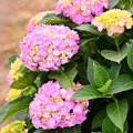 Photos: 開成町の紫陽花。。咲き途中 20180526