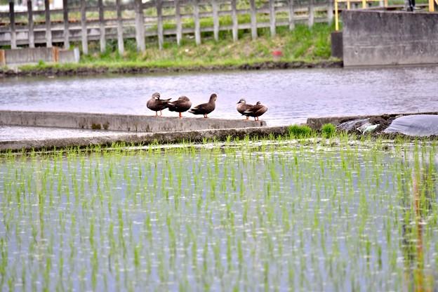Photos: 田んぼを守るかわいい見守り隊。。カルガモさん 開成町 20180526