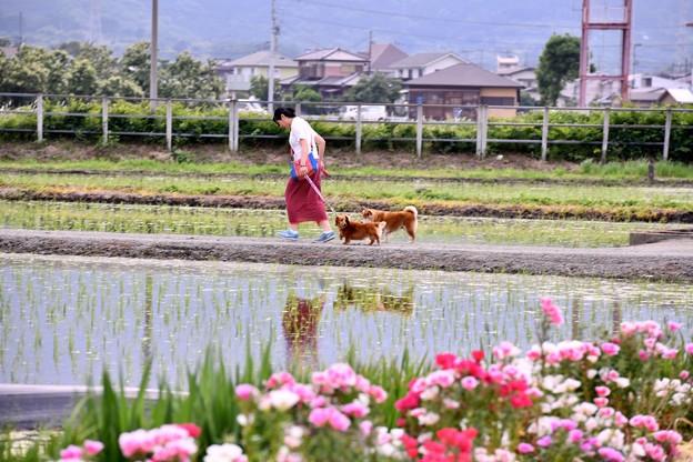 開成町の風景。。田んぼでの犬の散歩中 20180526