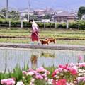 写真: 開成町の風景。。田んぼでの犬の散歩中 20180526