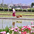 Photos: 開成町の風景。。田んぼでの犬の散歩中 20180526