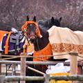 Photos: 撮って出し。。カッコよく纏った流鏑馬の馬 2月11日