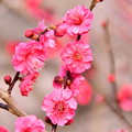 撮って出し。。小田原の曽我梅林の梅が咲き(1) 2月11日