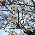 撮って出し。。小田原の曽我梅林の梅が咲き(2) 2月11日