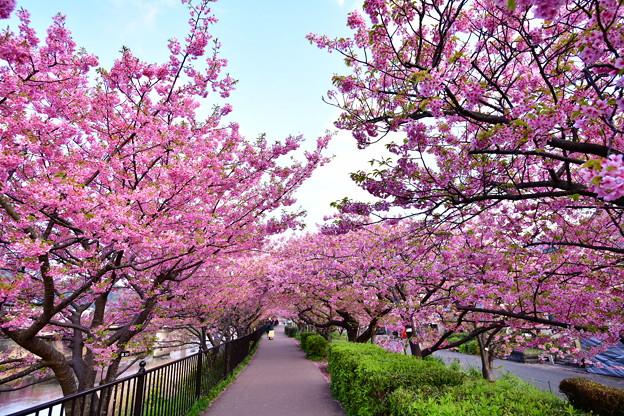 撮って出し。。伊豆河津町の河津桜のトンネル 20190302