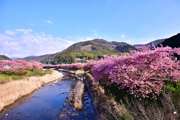 Photos: 撮って出し。。伊豆河津の風景 川沿いに河津桜 20190302