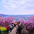 撮って出し。。松田の町を見下ろす河津桜 20190302