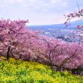 撮って出し。。河津桜と菜の花 松田町を。。20190302