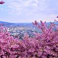 撮って出し。。河津桜から松田の町を眺めて 20190302