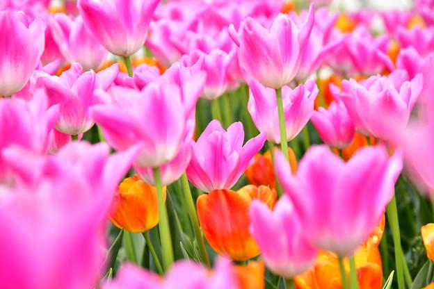 撮って出し。。チューリップな世界へ 昭和記念公園(2)