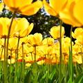 撮って出し。。チューリップな世界へ 昭和記念公園(3)