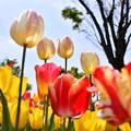 Photos: 撮って出し。。チューリップな世界へ 昭和記念公園(4)