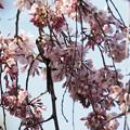 枝垂桜にエナガ0317t