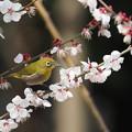 Photos: 梅にメジロ0318 (4)t