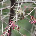 Photos: 蕾の枝垂桜にキクイタダキ0318 (1)t